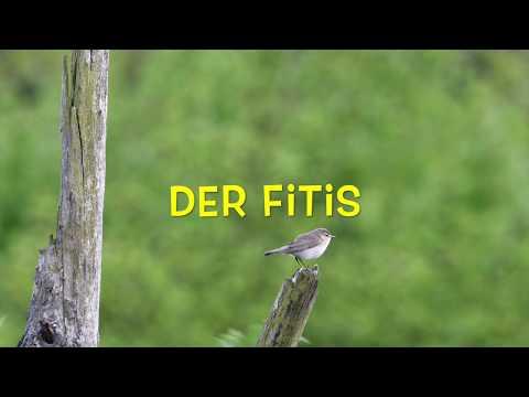 Der Fitis - ein ausdauernder Sänger