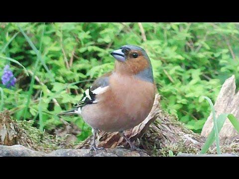 Buchfink, Männchen und Weibchen am Vogelbad. Eifel / Dohr