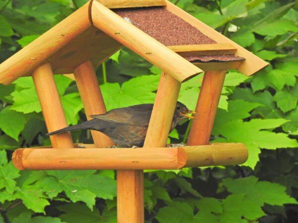 Vogelhaus mit Amsel-Weibchen