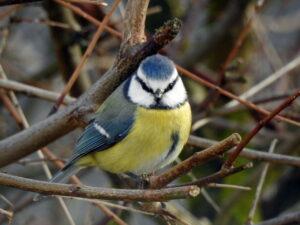 Blaumeise - Parus caeruleus