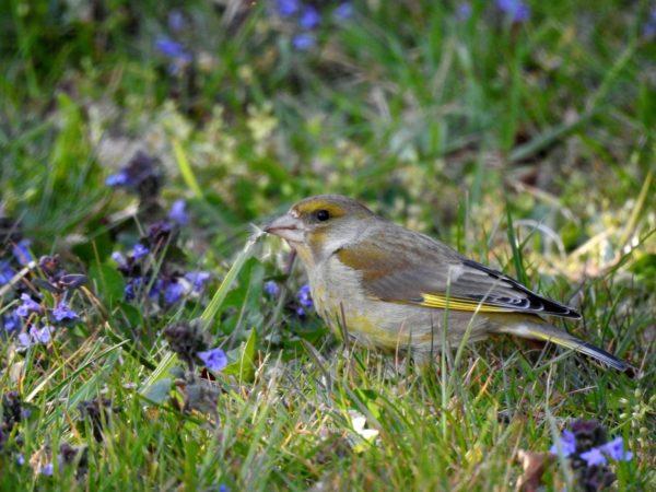 Grünfink auf Nahrungssuche im Garten
