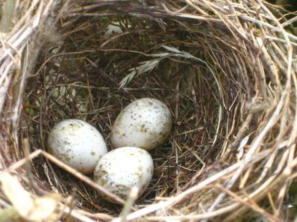 Nest mit Eiern der Klappergrasmücke