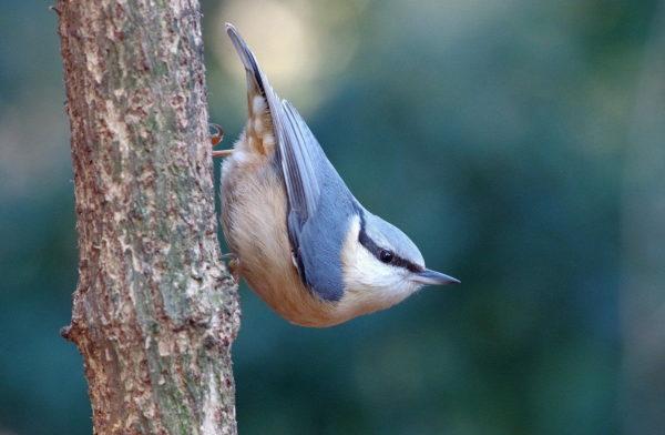 Kleiber am Baum auf Nahrungssuche