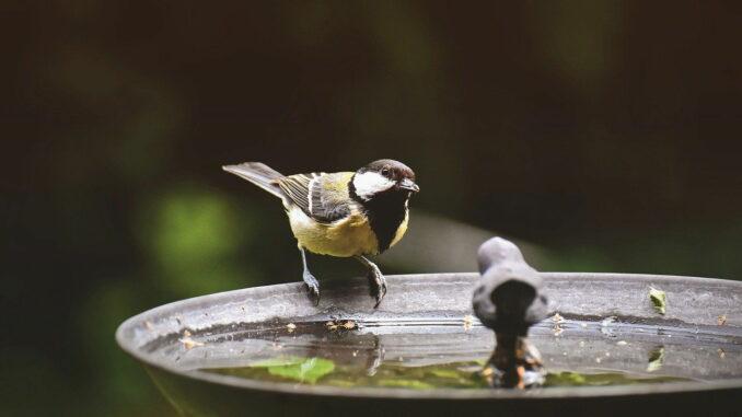 Kohlmeise an einer Vogeltränke