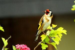 Vögel bestimmen und erkennen
