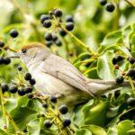 Aussehen und Merkmale der Mönchsgrasmücke