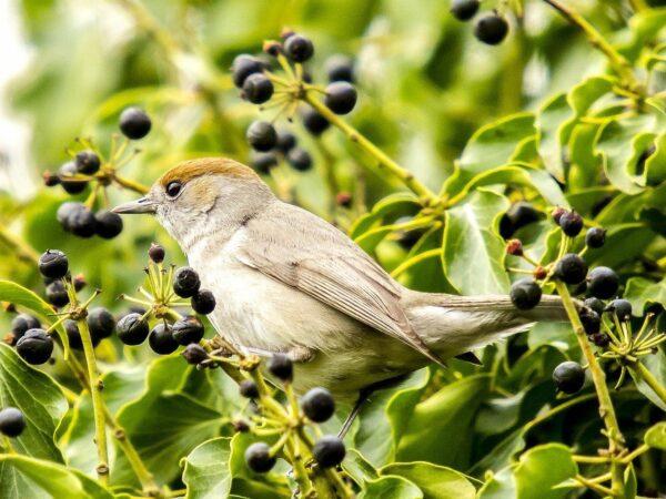 Mönchsgrasmücke - Sylvia atricapilla