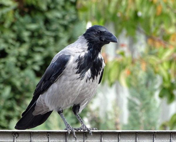 Aaskrähe (Corvus corone) Nebelkrähen-Morphe