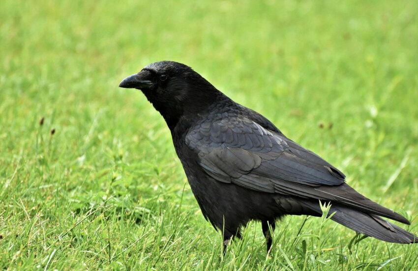Rabenkrähe - Corvus corone