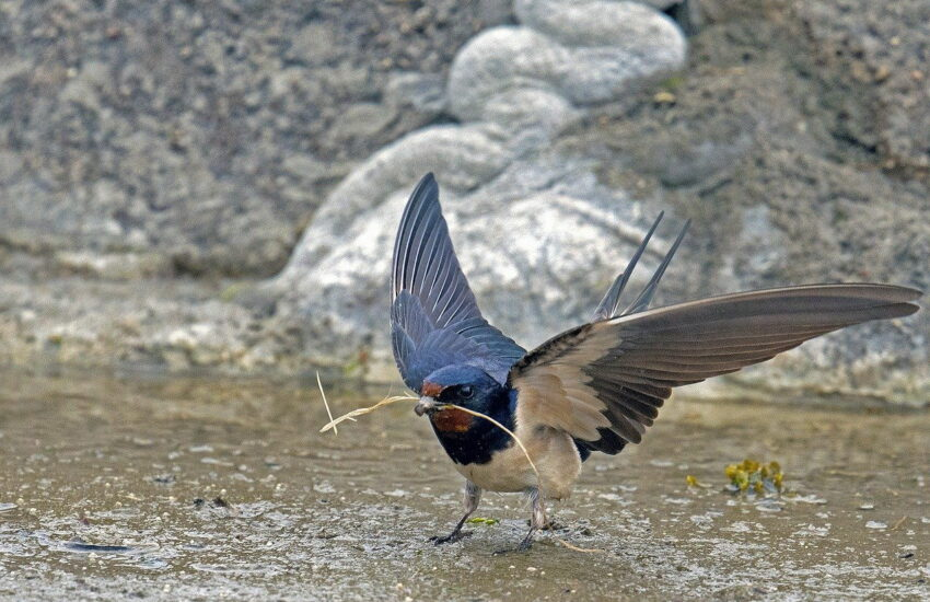 Rauchschwalbe - Hirundo rustica
