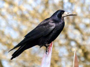Saatkrähe - Corvus frugilegus