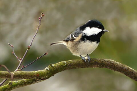 Tannenmeise - Parus ater
