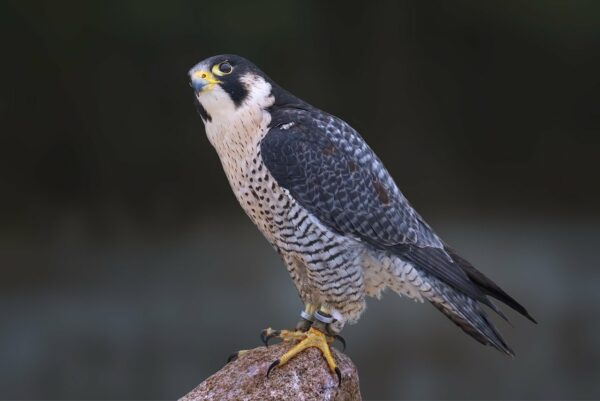 Wanderfalke - Falco peregrinus