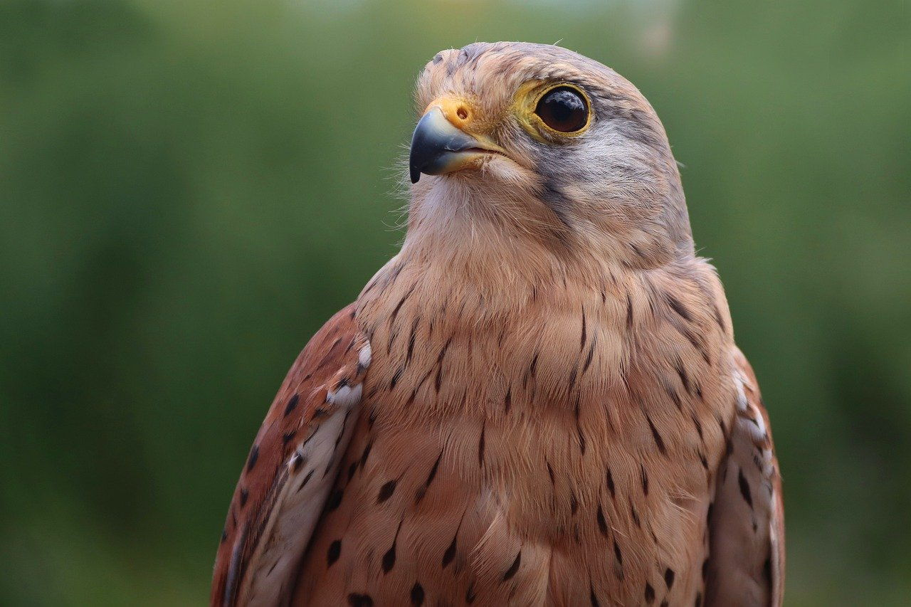 Turmfalke – Falco tinnunculus