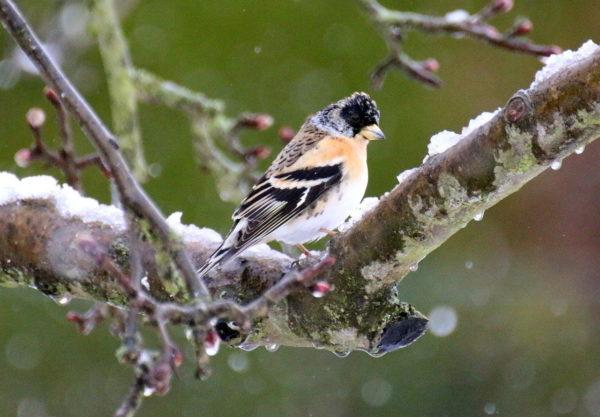 Bergfink oder Nordfink (Fringilla montifringilla) im Schnee