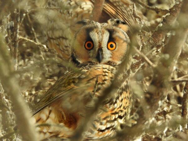 Aussehen und Merkmale der Waldohreule