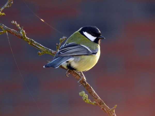 Kohlmeise als Standvogel