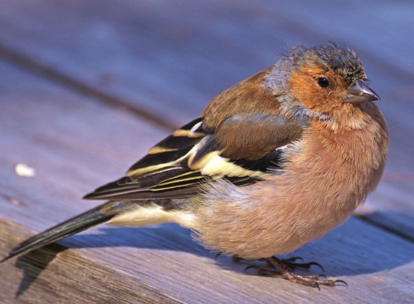 Strichvogel wie der Buchfink