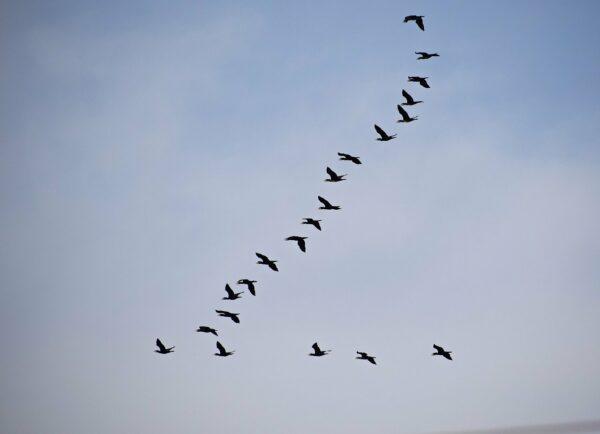 Zugvögel am Himmel