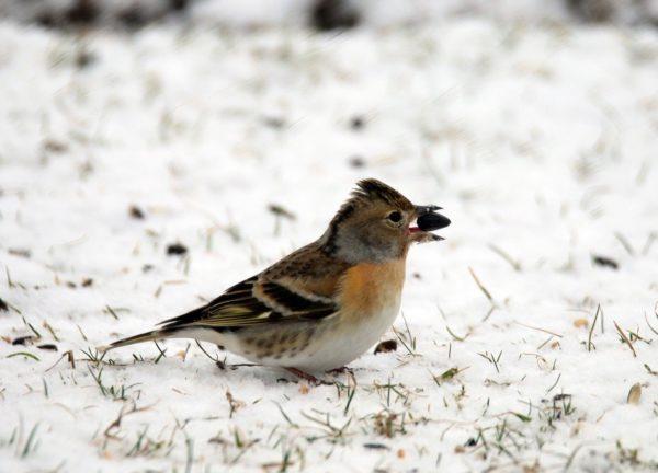 weiblicher Bergfink im Schnee auf Nahrungssuche
