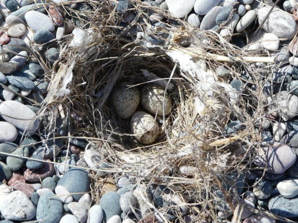 Nest mit Eiern der Haubenlerche