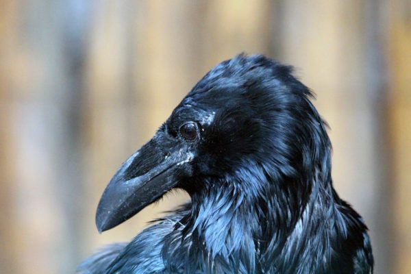 Kolkraben Jungvogel