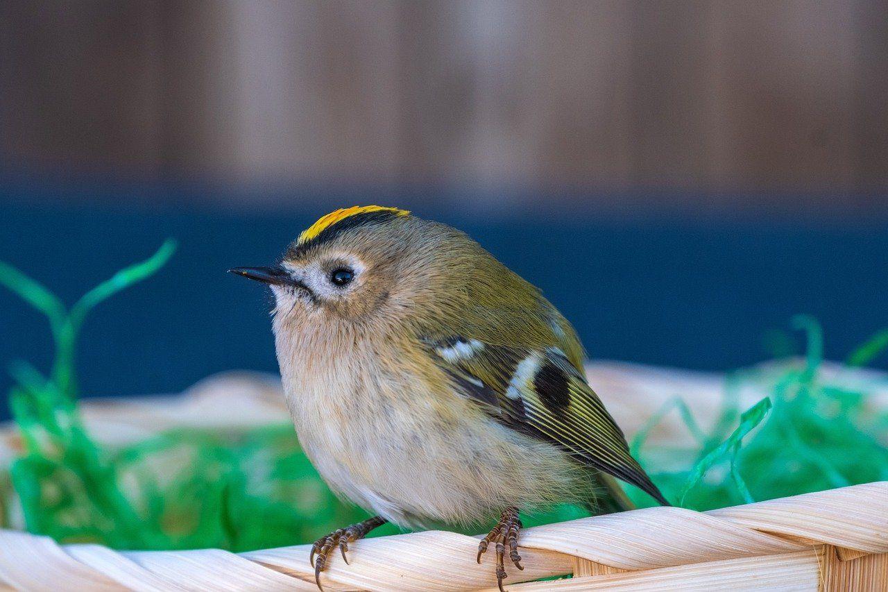 Aussehen und Merkmale beim Wintergoldhähnchen