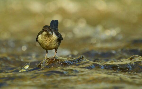 Aussehen und Merkmale der Wasseramsel