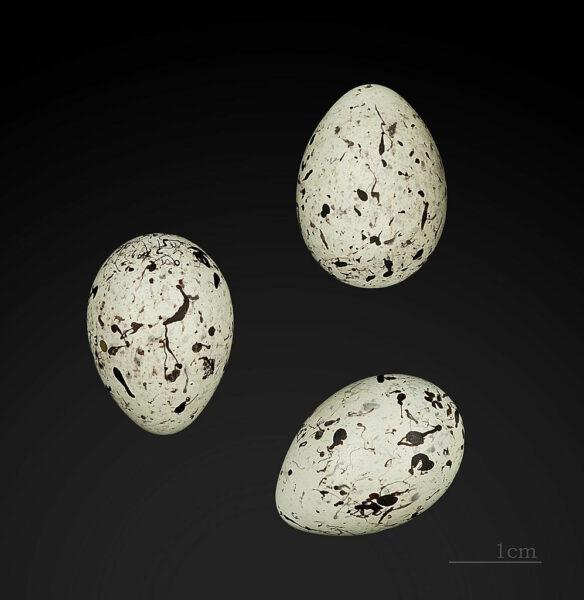 Eier der Zaunammer